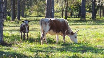 Cow and Calf pasture