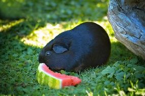 Black guinea pig is eating watermelon on the green lawn