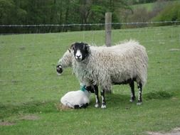 Domestic Sheep on a farm