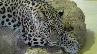 leopard lies on a stone