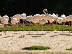 Flamingos are standing on the one leg