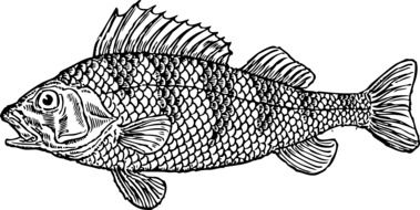 scaly fish drawing