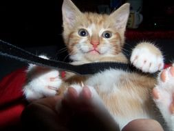 playful red domestic kitten