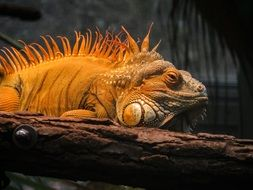 scaly yellow iguana