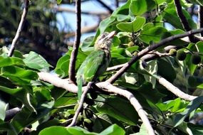 lineated barbet on a tree in Karnataka