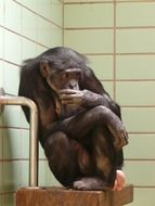 Caught chimpanzee in the zoo