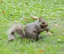 grey squirrel with bushy tail