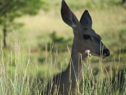 roe deer in tall grass in a natural environment