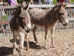 cute donkeys at the zoo germany