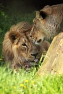 couple of african lions