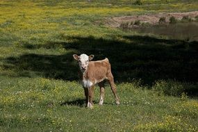 cute little calf on the ranch
