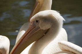 portrait of a funny white pelican