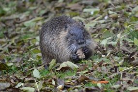 Water Rat Nutria