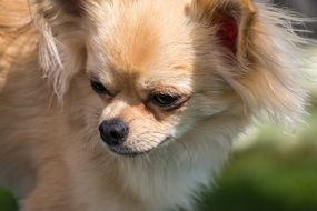 small dog breed Chihuahua in the meadow