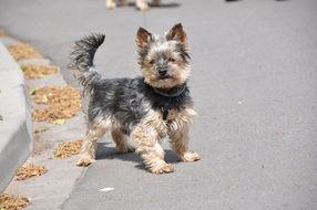 Yorkshire Terrier on a street