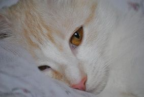 ginger Cat with orange eyes, Face close up