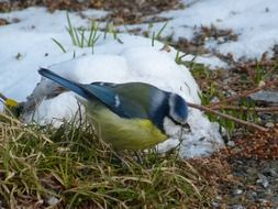 Blue Tit sitting on grass at winter