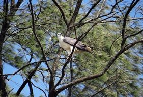 white-bellied eagle in wildlife