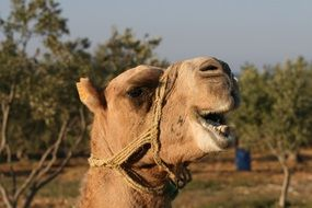 head of a camel in harness close up