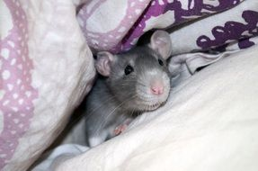 gray home mouse