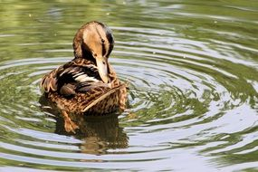 mallard cleans feathers in water