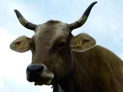 horned milk cow
