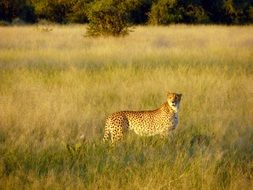 Cheetah stands among grass in Savannah, botswana