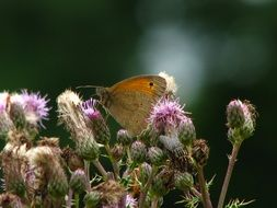 wild brown butterfly on the thistle