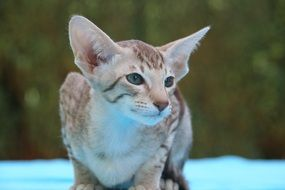 kitten with big ears on a blue bedspread