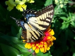 scarce swallowtail on the yellow flower