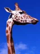 long neck of the giraffe is its main feature