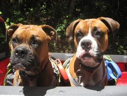 Two boxer dogs