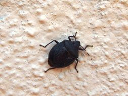 black beetle on the white wall