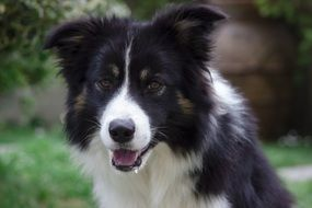 portrait of a hairy black and white border collie