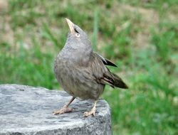 beautiful Jungle Babbler bird
