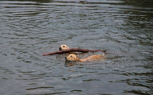 two golden retriever swim with a log in a pond