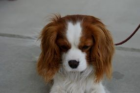 dog breed Cavalier King Charles Spaniel with a sad look
