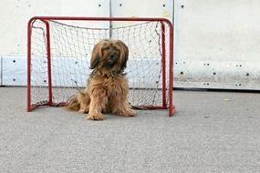 tibetan terrier sitting near a football goal