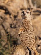 Portrait of wild Meerkat