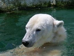 Polar bear is swimming