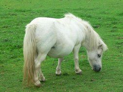 white pony on green grass close-up