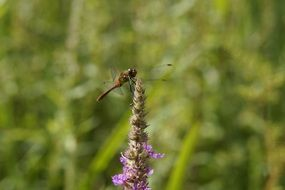 red dragonfly in wetland in summer