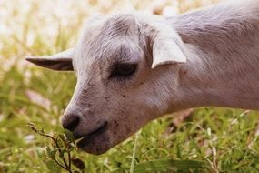 Goat eating grass in nature