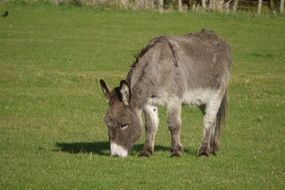 donkey grazing in a green pasture
