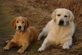 portrait of two golden retriever