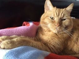 ginger domestic cat in relaxation