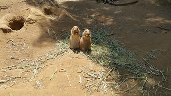 two prairie dogs at the zoo