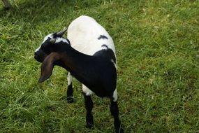 black and white goat on a green pasture