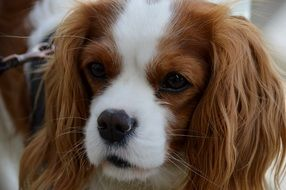 Cavalier King Charles spaniel on a leash