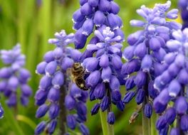 bee pollinating purple garden flower